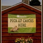 Baby chicks available January - June.