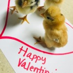 valentines day chicks