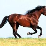 brown_horse_running