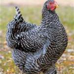 Barred rocks are one of Americana's oldest breeds - an excellent dual purpose breed that they brown eggs.