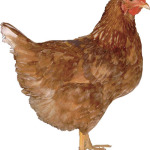 Golden Sex Links are a cross between Rhode Island Reds and Rhode Island Whites that have been bred for high and efficient egg production. Brown egg layers.