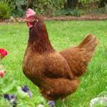 Rhode Island Reds are the most popular breed that we sell for brown egg layers.