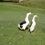 Black & White Magpies - Dual purpose. Males, 5 pounds. Females, 4.5 pounds.